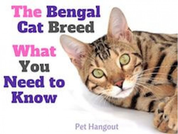 The Bengal Cat Breed - What You Need to Know
