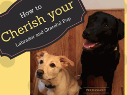 How to Cherish your Labrador and Grateful Pup