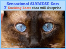 Sensational Siamese Cats - 7 Exciting Facts that will Surprise