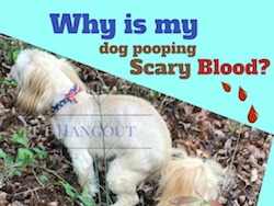 Why is my Dog Pooping Bad Blood?