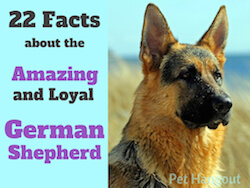 22 Facts about the Amazing and Loyal German Shepherd