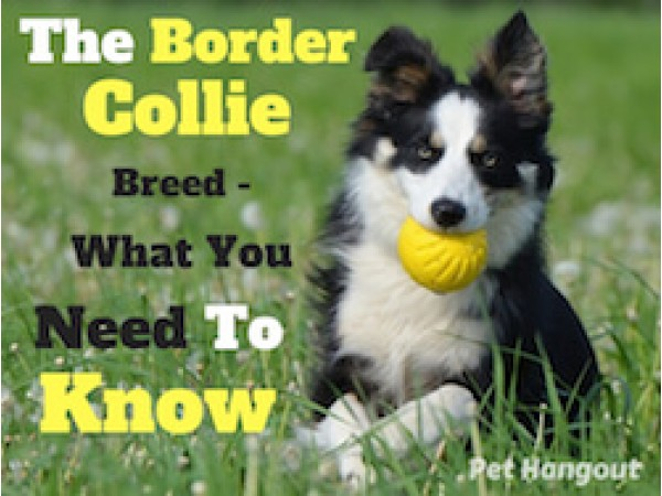 The Border Collie Breed - What You Need To Know