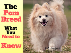 The Pomeranian Breed - What You Need To Know