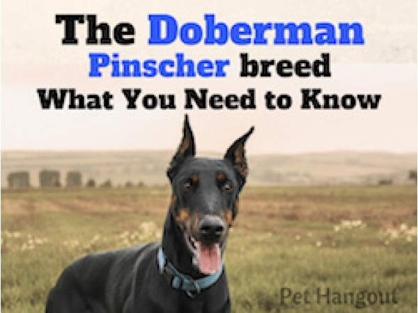 The Doberman Pinscher Breed - What You Need To Know