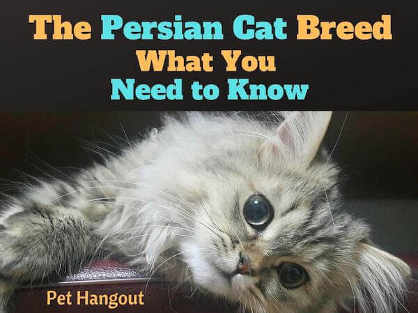 The Persian Cat Breed - What You Need To Know