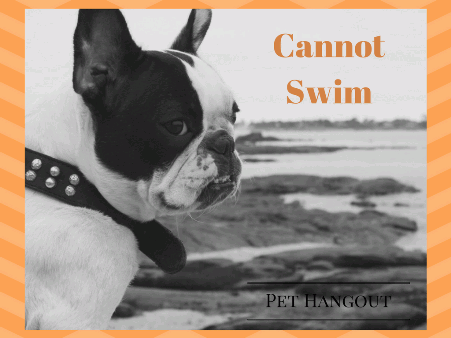 French Bulldogs cannot swim because of being top heavy