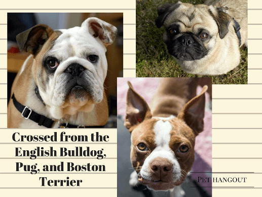 The French Bulldogs heritage - pug, english bulldog and the boston terrier