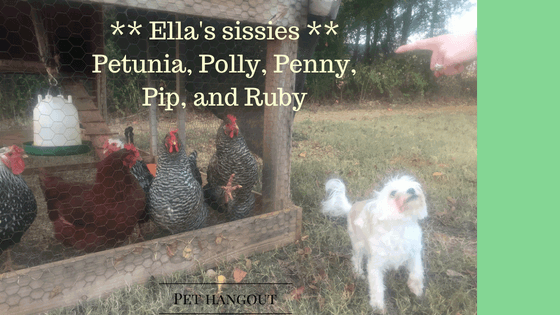 Ella with sister chickens