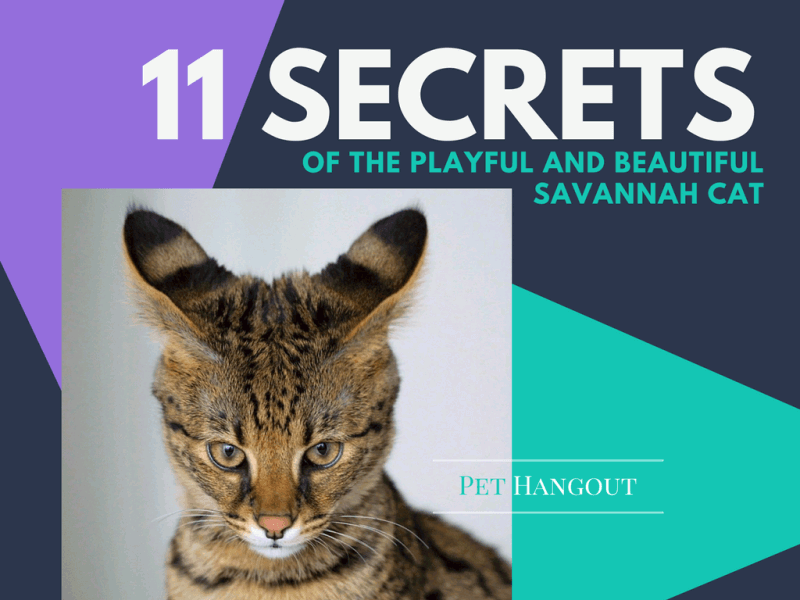 Savannah Cat Blog Post Lead Pic