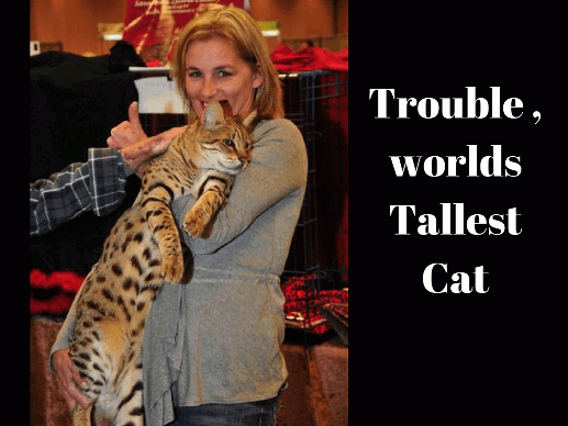 Trouble, Worlds Tallest Cat
