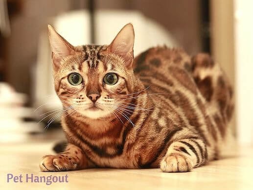 Bengal cat looking very sweet.