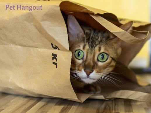Cute Bengal kitty in a paper bag.