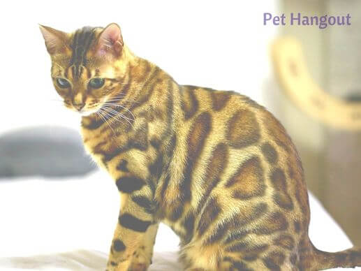 Spotted Bengal Cat.