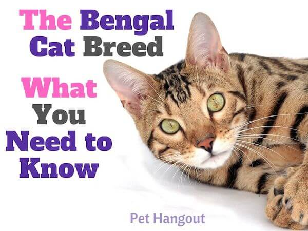 The Bengal Cat Breed What you need to know.