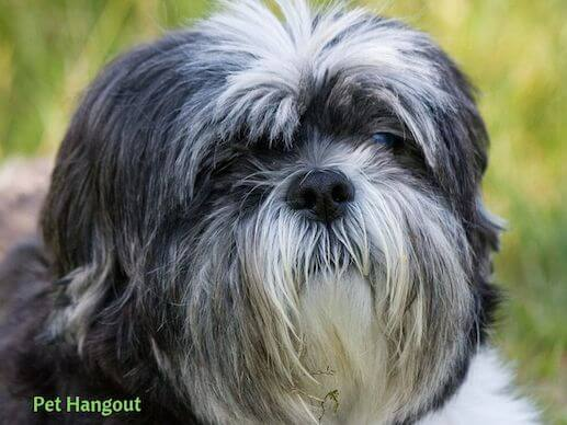 Black and White Shih Tzu dog.