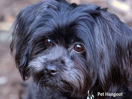 Black Shih Tzu Dog