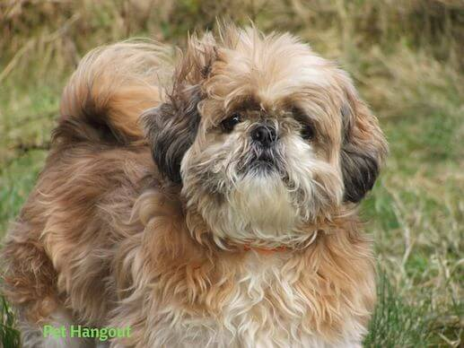 Brown and White Shih Tzu Dog
