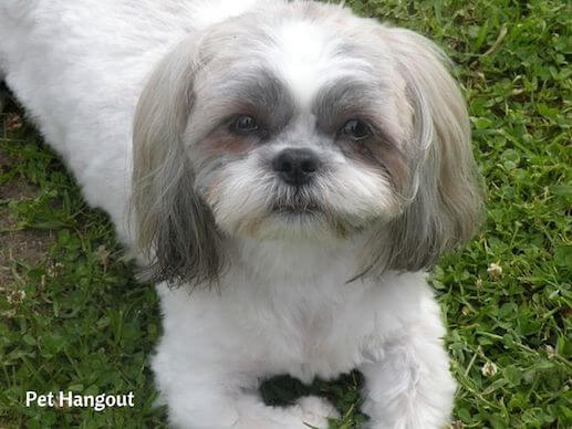 Shih Tzu doggie resting in the grass.