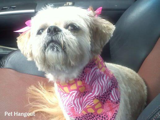 Gracie wearing her pretty pink bows and bandana.