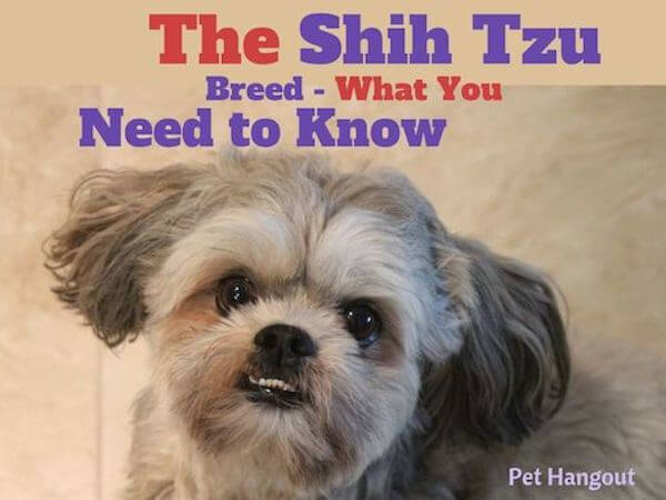The Shih Tzu Dog Breed - What You Need to Know