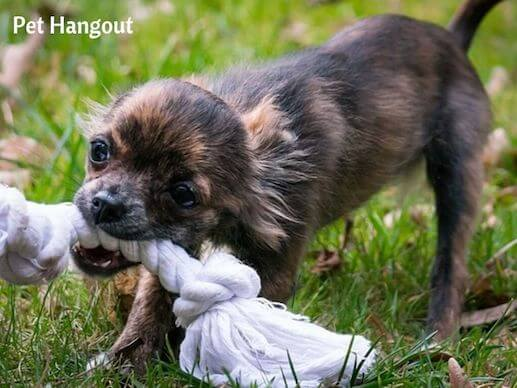 A good game of tug and war helps your puppy spend pent up energy and is good for their teeth and gums.