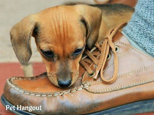 Puppies love shoes but you will need to redirect instead of fussing at them.