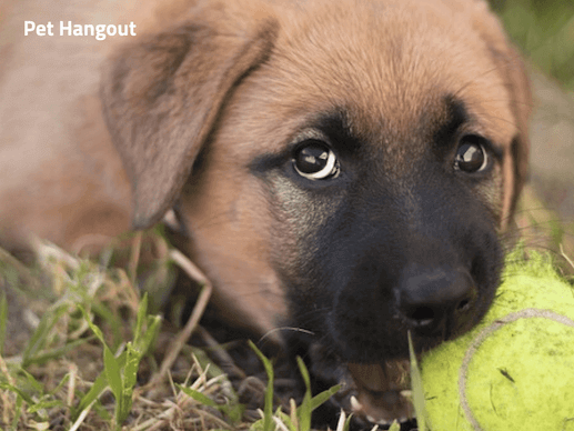 Puppy gnawing on tennis ball.