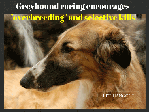 Overbreeding Greyhounds caused many to be put to death