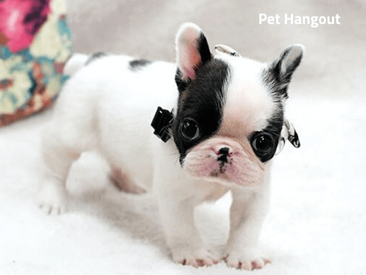 Precious Teacup French Bulldog.