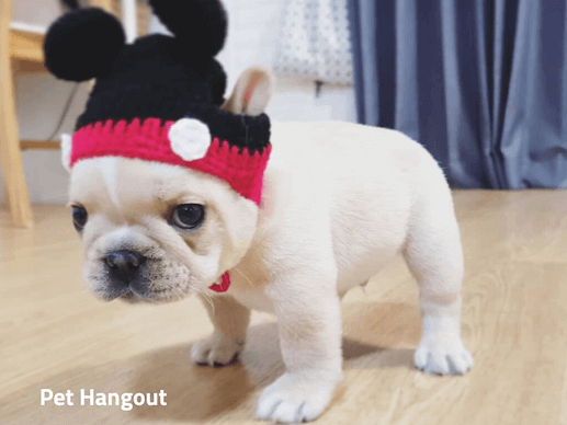 Teacup French Bulldog with Mickey ears.