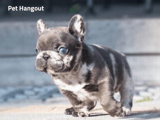 Teacup French Bulldog running.