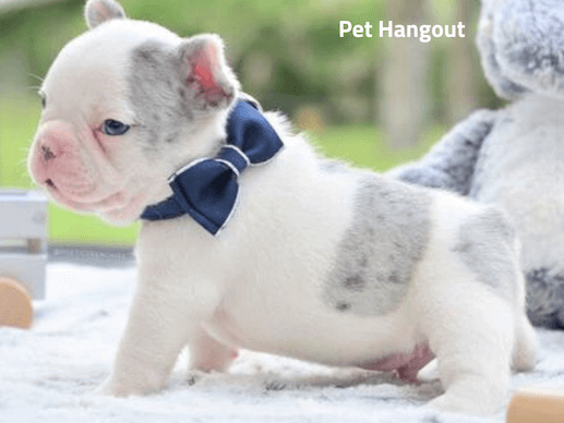 Teacup French Bulldog with a bowtie.