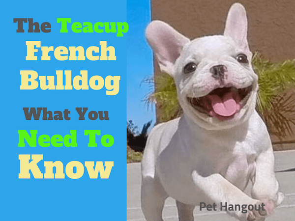 The Teacup French Bulldog What You need to Know