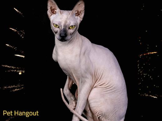 Pretty Sphynx cat posing.