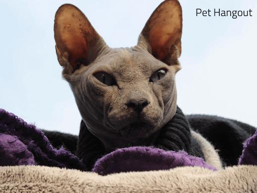 sleepy grey sphynx kitty