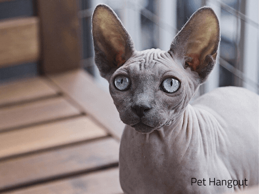 Sphynx cat being curious.