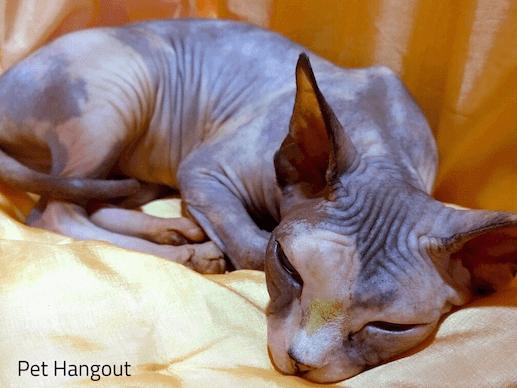 Sphynx cat sleeping