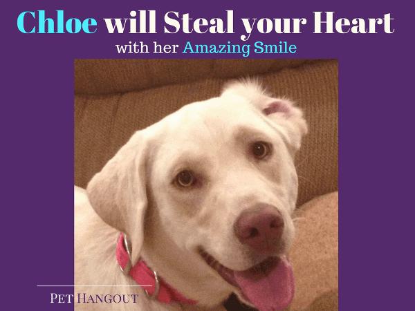 Chloe the white labrador retriever