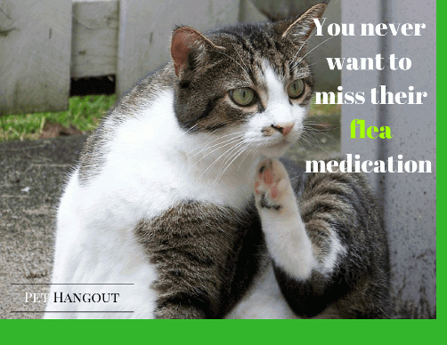 Cat that is scratching may need flea medication