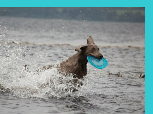 Dog retrieving her frisbee from the water