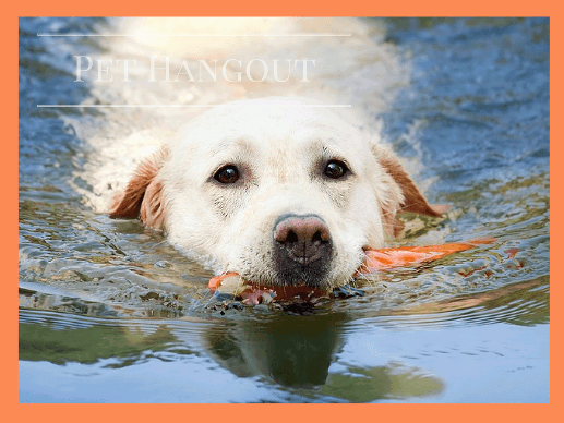 White lab retrieving his toy from the water