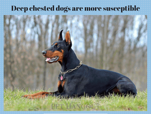 Dobermans can be susceptible to bloat