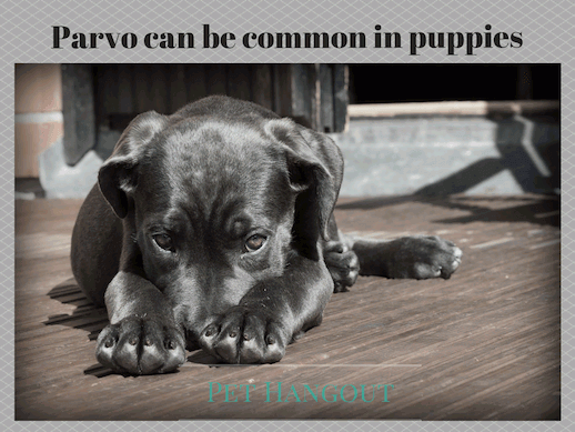 Puppies can get parvo