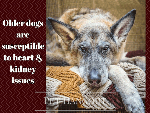 Elderly dogs can develop kidney failure
