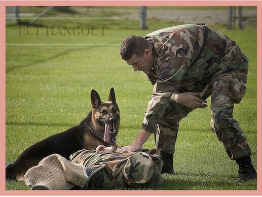 Training a military dog