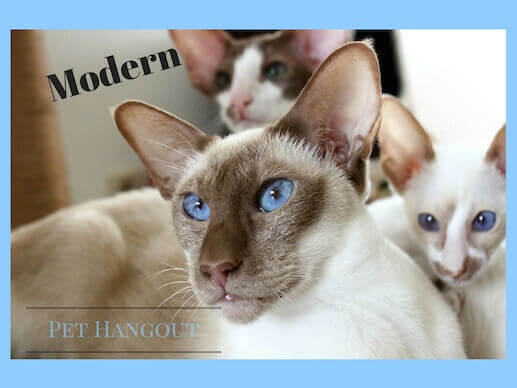 The modern Siamese Cat