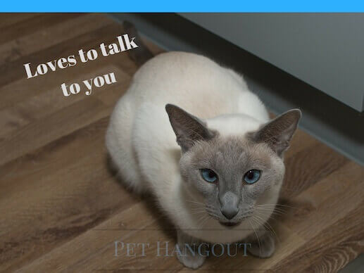 Siamese love to talk to you.