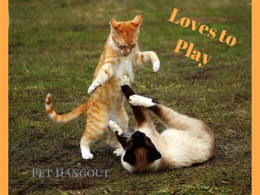 Siamese love to play with toys and other animals.