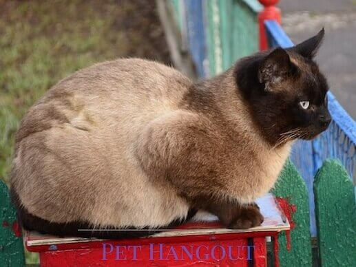 Siamese sitting on a piece of furniture