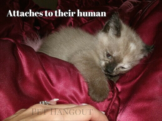 Siamese have been known to attach themselves strongly to one person.